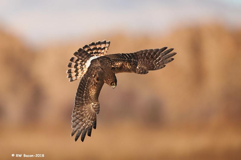 Northern Harrier Locked On