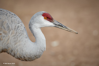Sandhill Head Shot