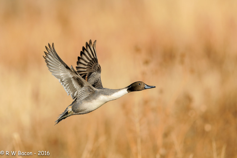 Bosque Pintail Flight