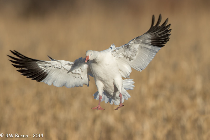 Snow Goose Full Flaps