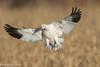 Snow Goose Full Flaps