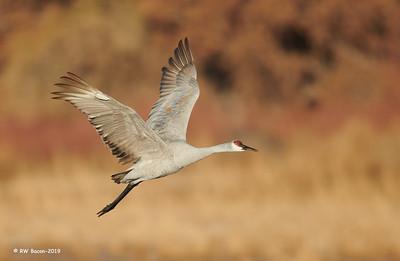 Autumn Sandhill Crane