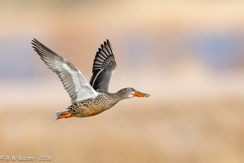 Shoveler Hen in Flight