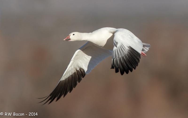 Snow Goose Strokin