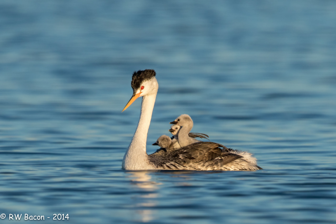 Clark's Grebe with Chicks