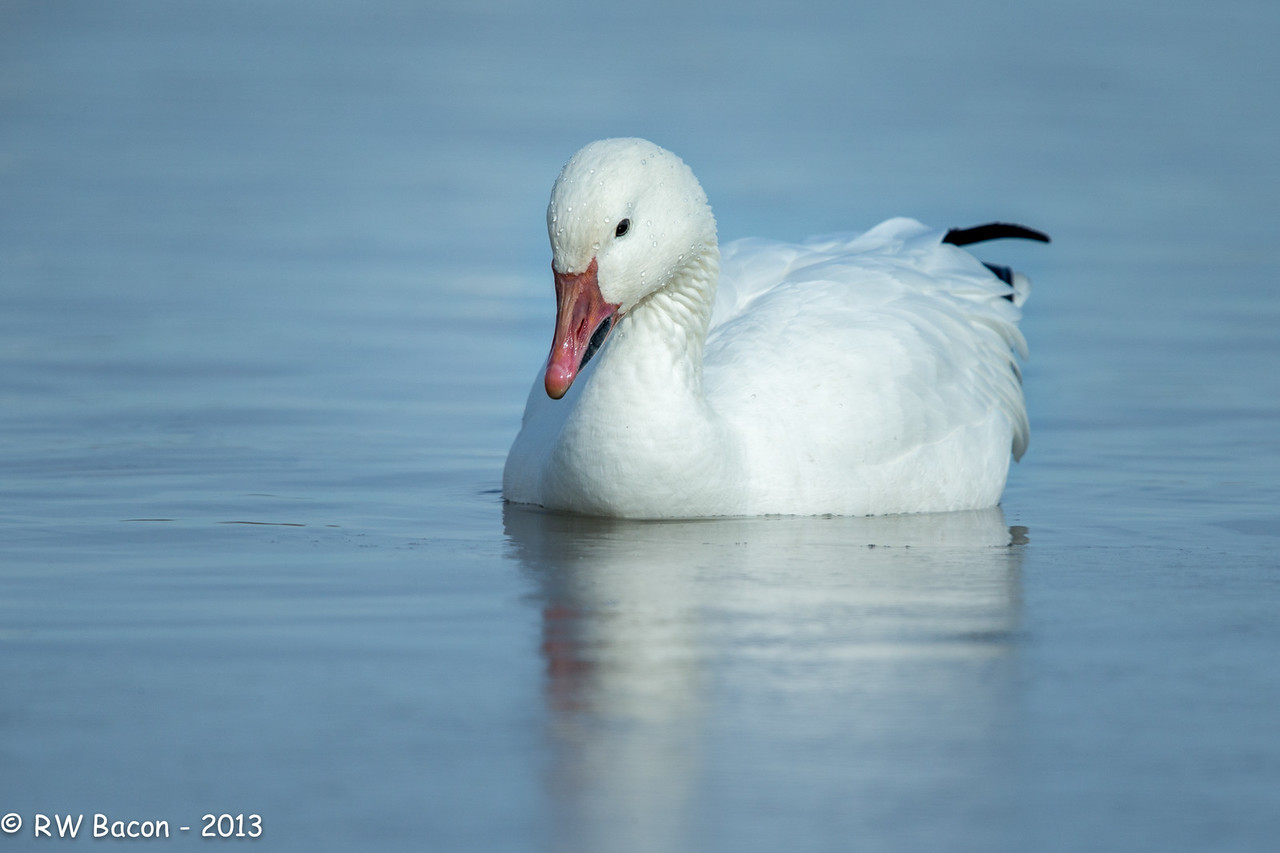 Snow Goose Floating