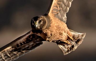 Immature male Northern Harrier (AKA Marsh Hawk)