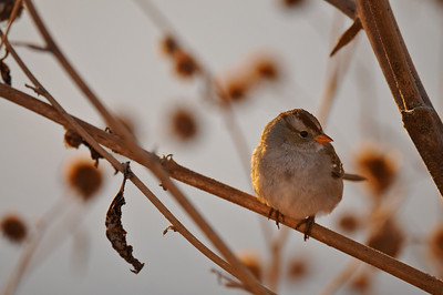 Sparrow, Bosque del Apache