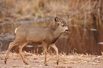 Mule deer, Bosque del Apache