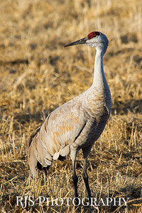 Portrait of a Crane