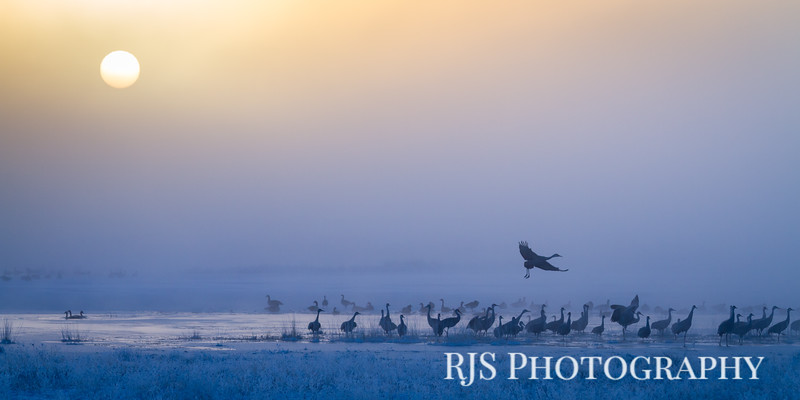 Cranes in Morning Fog