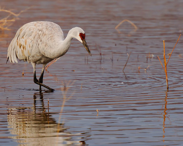 Morning Reflections of a Sand Hill Crane