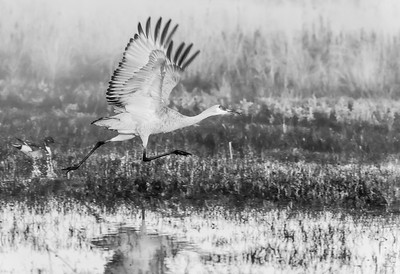 Sand Hill Crane at Take-off on a Very Foogy Morning at Bosque del Apache