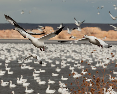 The Snow Geese Launch