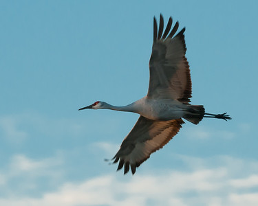 Sand Hill Crane in Flight