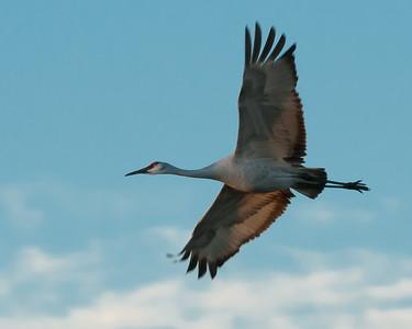 Sand Hill Crane in Flight