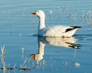 Snow Goose Reflection