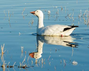 Snow Goose Reflection