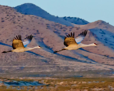 Sand Hill Cranes in Flight at Sunrise