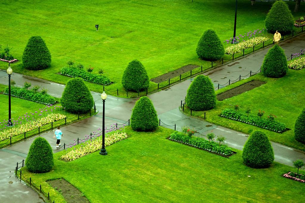 Small Pine Trees of Boston Public Garden
