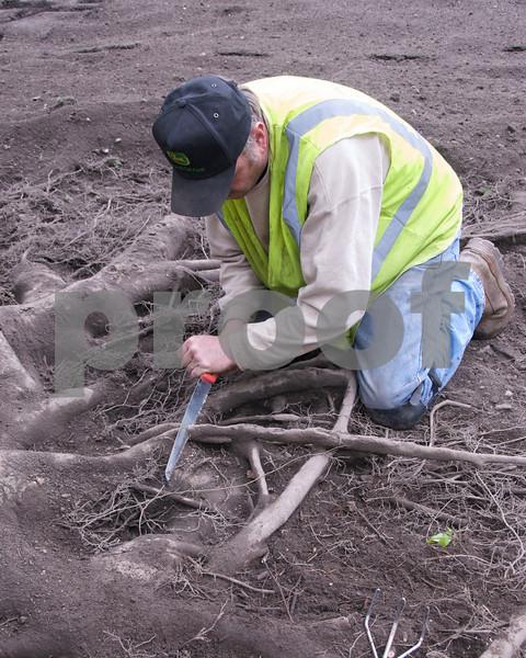 Russel Chaffee Sr. cutting girdling roots.