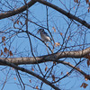 IMG_1946 - Version 22011-01-29Blue Jay Commonwealth Mall© 2011 Penny Cherubino