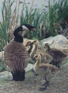 Canadian Geese family at Arlington Reservoir