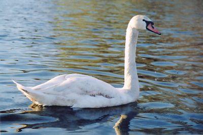 Swan on Spy Pond