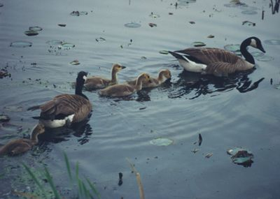 Canadian Geese at Arlington Reservoir