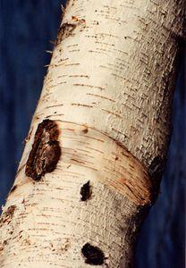 Birch tree at Arlington Reservoir