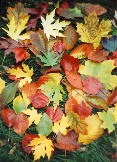Autumn leaves in front of my Arlington house