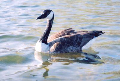 Canadian Goose on Spy Pond. Spy pond water birds taken with Minolta 7 SLR in 2005.