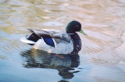 Duck on Spy Pond