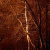birch tree in Back Bay Fens