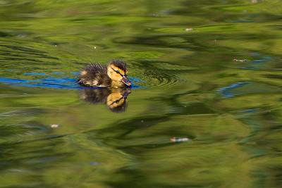 duckling in swan pond Public Garden