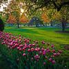 craggy tree & magenta tulips Public Garden