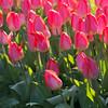 bacllit tulips Public Garden