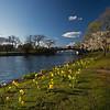 daffodils on the Esplanade