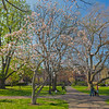 photographing the magnolias in the Public Garden