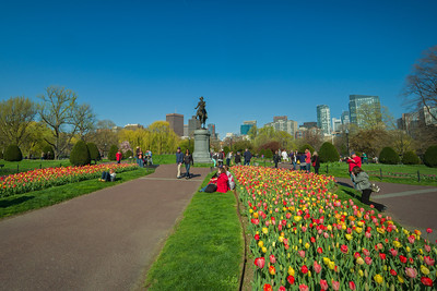 tulips & George in Public Garden