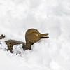 Pack the Duckling snowbound