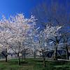 Weeks bridge spring blossoms