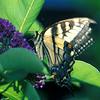 swallowtail butterfly in Cambridge garden