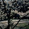 white blossoms backlit