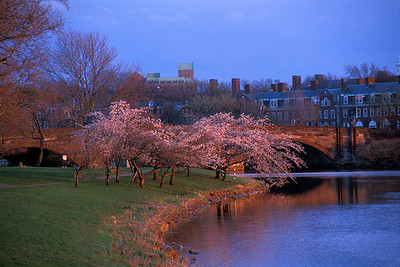 cherry blossoms Larz Anderson bridge
