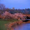 cherry blossoms Larz Anderson bridge