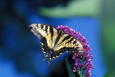 swallowtail butterfly in Cambridge garden 2