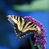 swallowtail butterfly in Cambridge garden 2