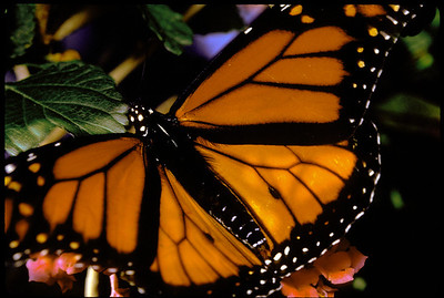 monarch extreme closeup