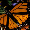 monarch extreme closeup
